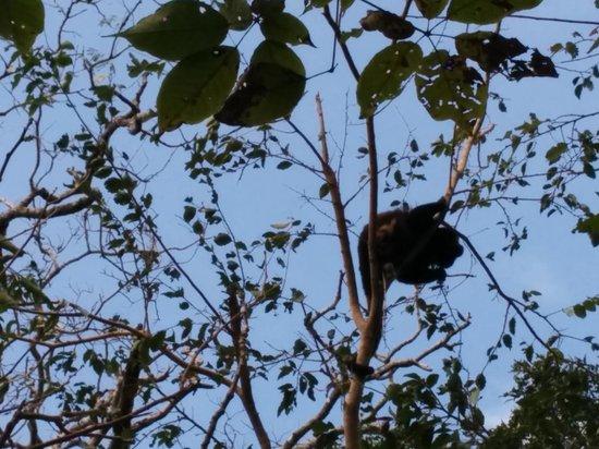 Da Flying Frog Canopy Tours : Howler Monkeys