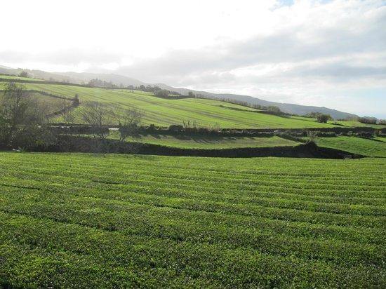 Plantações de Chá Gorreana (Gorreana Tea Plantation) : чай