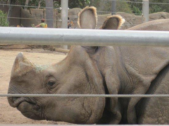 San Diego Zoo : rhino