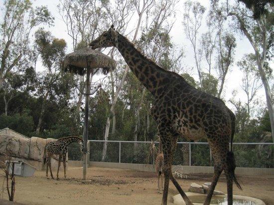 San Diego Zoo : giraffe