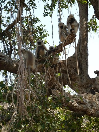 Ranakpur Hill Resort: Langurs EVERYWHERE!