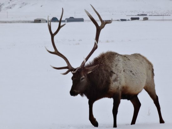 National Elk Refuge: Elk refuge Feb. 2014