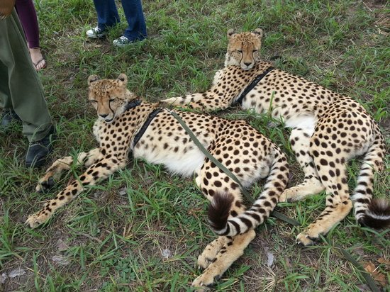 Chaminuka Lodge: Cheepo and Chaminuka - the two cheetahs