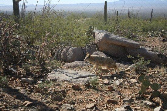 Arizona-Sonora Desert Museum: coyote