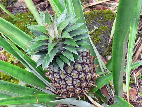 Hale Moana Bed & Breakfast: Pineapple growing on the property