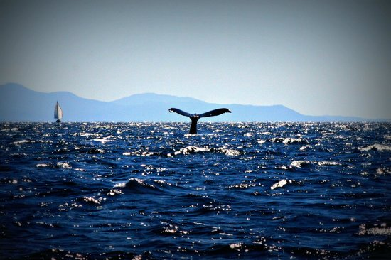 Eagle Eye Adventures: 'Houdini' the Humpback