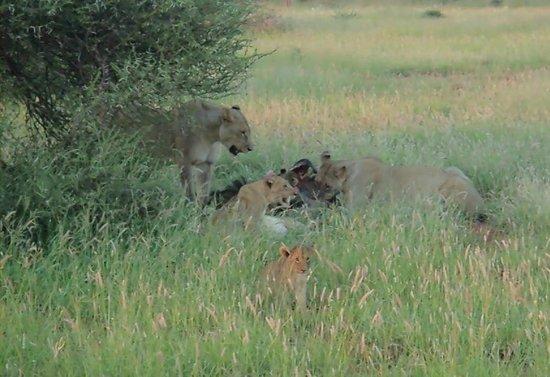 Morukuru Family Madikwe: lion's banquet