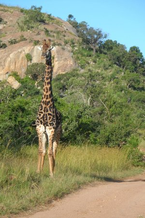 Bongani Mountain Lodge: giraffa