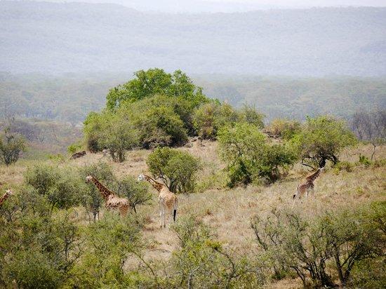 Lake Nakuru Lodge: Rothchilds Giraffe's viewed from the room