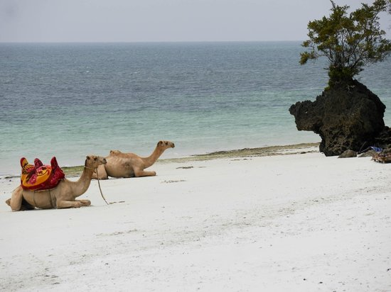 Voyager Beach Resort: Camels on the beach
