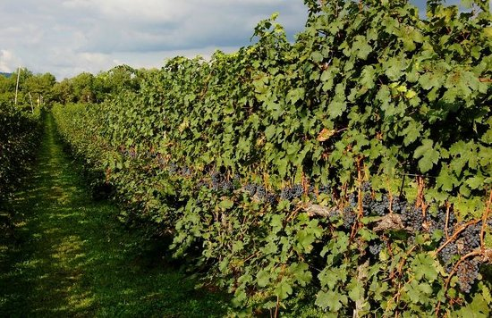 King Family Vineyards: The Vineyard