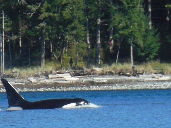 Eagle Eye Adventures : Orca swimming close to shore.
