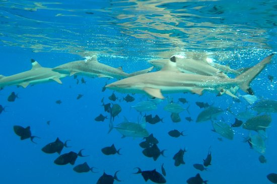 Maohi Nui : Blacktip reef sharks outside of the reef