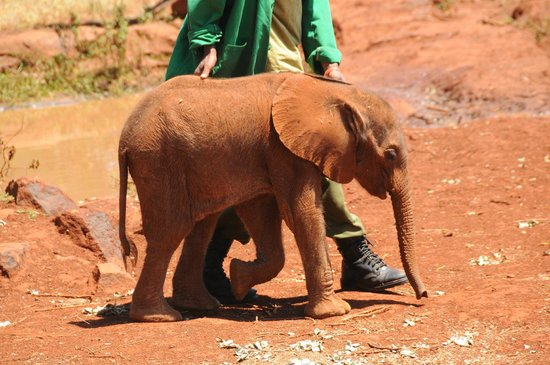 David Sheldrick Wildlife Trust: Weeks old orphaned Elephant.