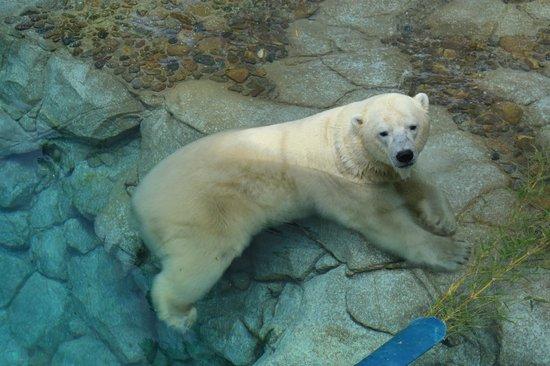 Sea World : lone polar bear