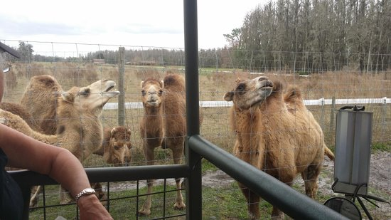 Safari Wilderness: Camels