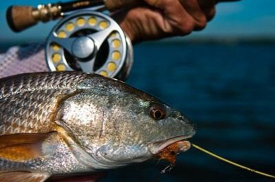 Tampa fly fishing charter for redfish picture of fly for Tampa fly fishing