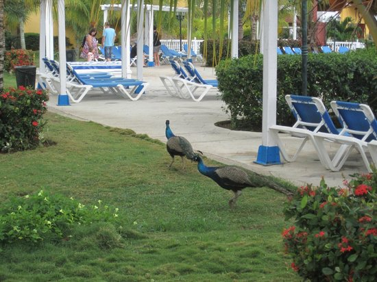 Memories Caribe Beach Resort: Peacocks roaming the grounds by the buffet