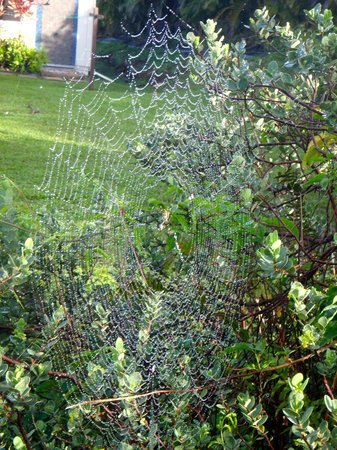 Haiku Cannery Inn B&B: Spider web with morning dew on the lemon tree in the yard