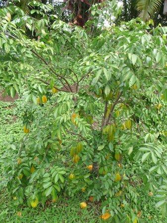 Haiku Cannery Inn B&B: Sweet, juicy starfruit tree