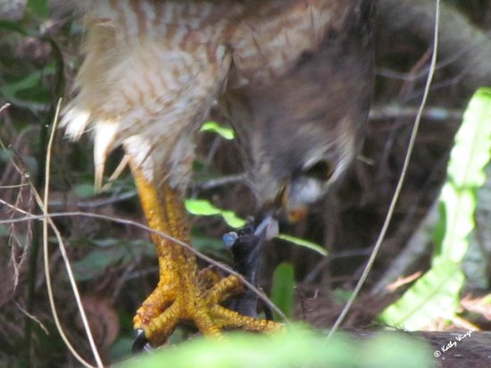 Corkscrew Swamp Sanctuary: Red-shouldered Hawk eating a snake