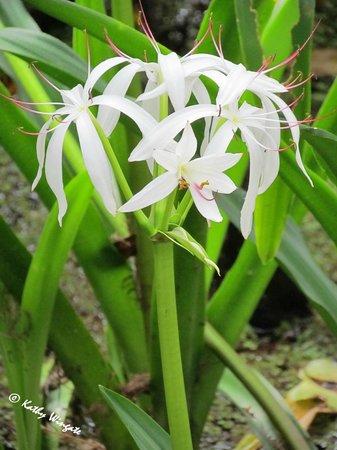 Corkscrew Swamp Sanctuary: Wild Lilies