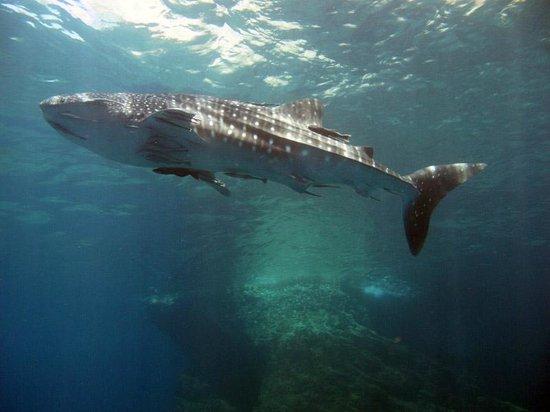 ไดว์ แอนด์ รีแลกซ์: Whale Shark at Koh Haa