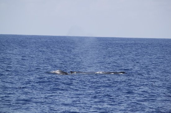 Fair Wind Big Island Ocean Guides: Humpback and her calf