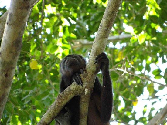 Barcelo Tambor : Fauna (mono aullador)