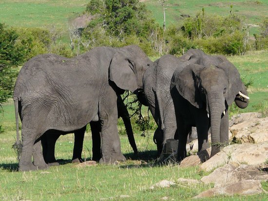 Serengeti Bushtops Camp : Elephants