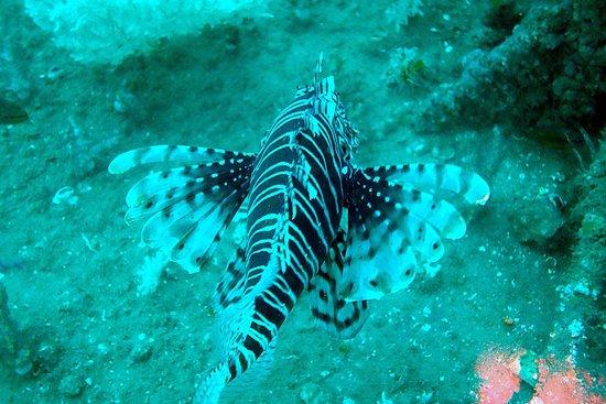 Le Meridien Al Aqah Beach Resort: Lion fish - scuba diving
