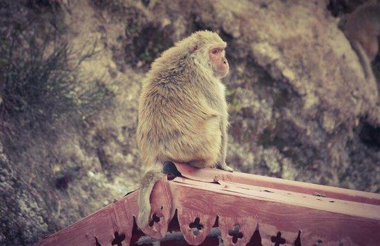 Karma Vilas Resort: Monkey chief