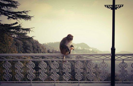 Karma Vilas Resort: Monkey VS Orange