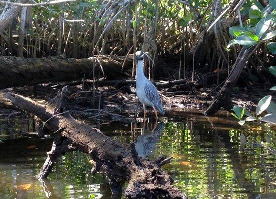 Naples Kayak Company: Yellow Crowned Night Heron on Gordon River