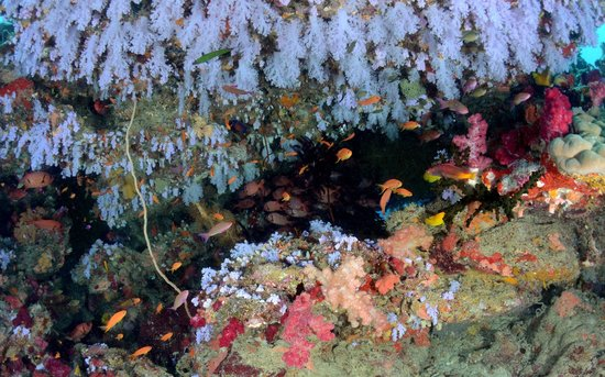 Sau Bay Fiji Retreat: beautiful soft coral canopy on a dive