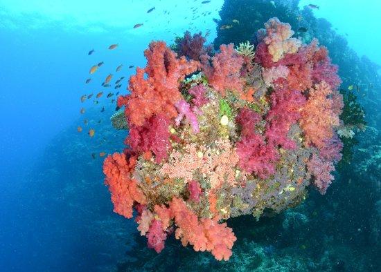 Sau Bay Fiji Retreat: beautiful soft coral vista ona dive