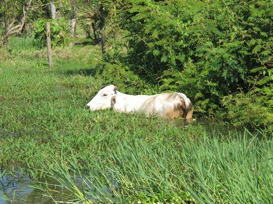 Laguna de Manialtepec: A waterproof cow :-)
