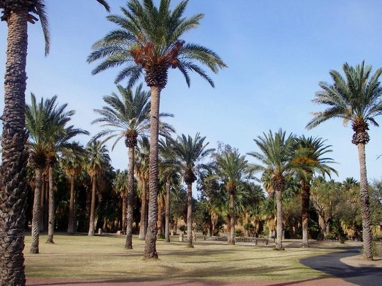 Agua Caliente Park: Magestic palm trees in the park