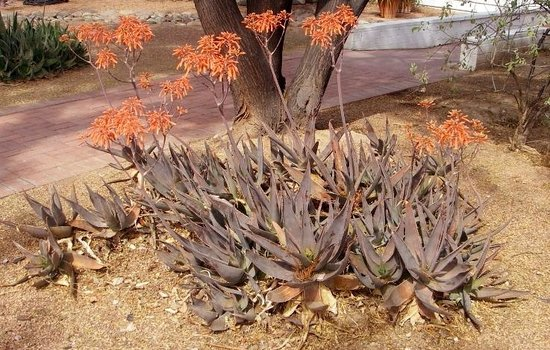 Agua Caliente Park: Aloe in bloom