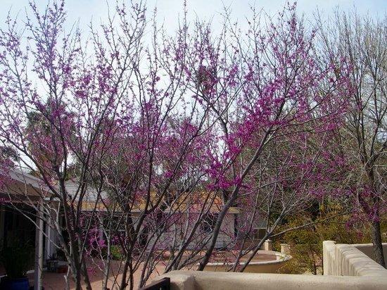 Agua Caliente Park: Redbud in bloom