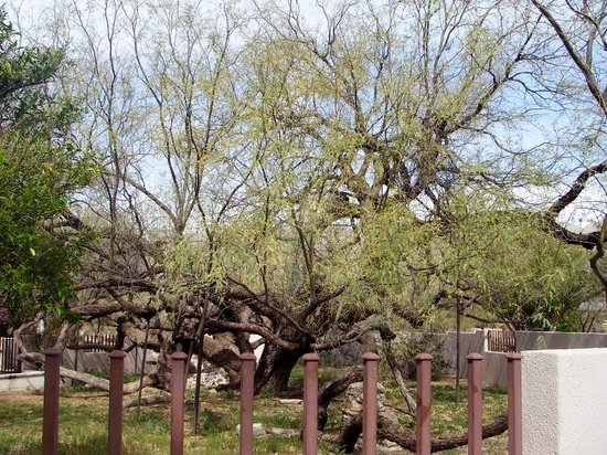 Agua Caliente Park : Great old Mesquite tree