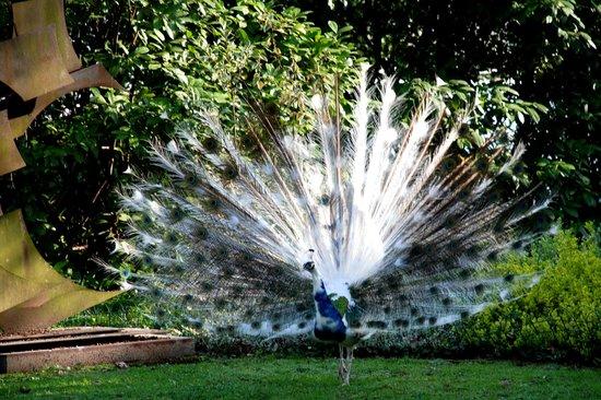 il pavone bianco - Foto di Cà Lozzio, Piavon - TripAdvisor