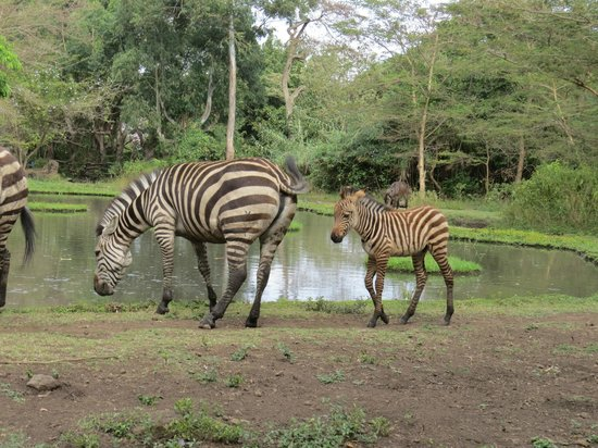 Mount Meru Game Lodge & Sanctuary: Zebras