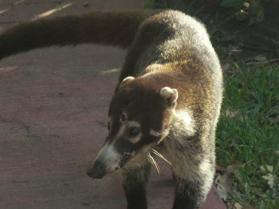 Allegro Papagayo: raccoon like animal on resort