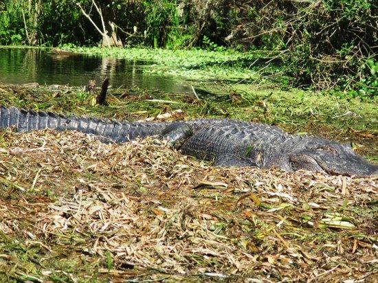Silver Springs River : Gator