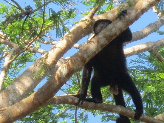 Allegro Papagayo: howler monkey
