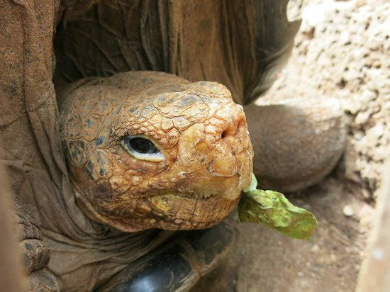 Charles Darwin Research Station : Tortoise
