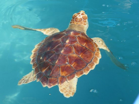 The Turtle Hospital: One of many turtles