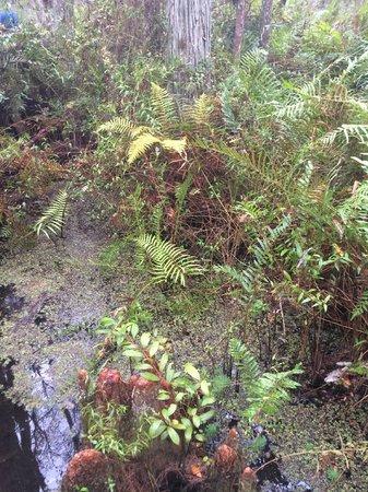 Gatorland: Exquisitely beautiful ferns visible throughout swamp walk
