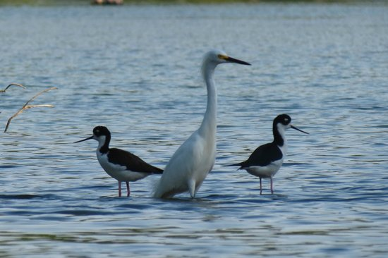 Pineapple Kayak Tours: two black necked stilts and one snowy egret